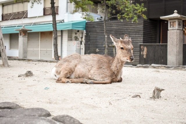 Wild deer on Miyajima Island