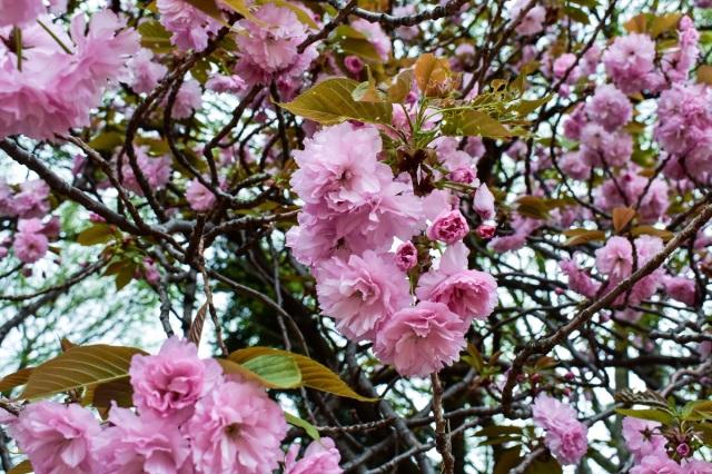 Cherry Blossoms at the Shinjuku Gyoen National Gardens