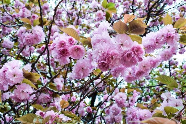 Cherry Blossoms at the Shinjuku Gyoen National Garden